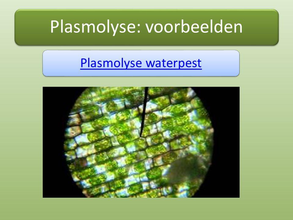 Plasmolyse: voorbeelden Plasmolyse waterpest