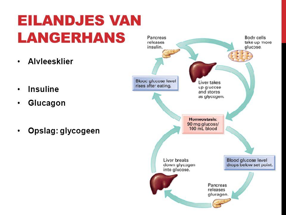 EILANDJES VAN LANGERHANS Alvleesklier Insuline Glucagon Opslag: glycogeen