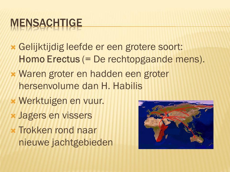  Gelijktijdig leefde er een grotere soort: Homo Erectus (= De rechtopgaande mens).