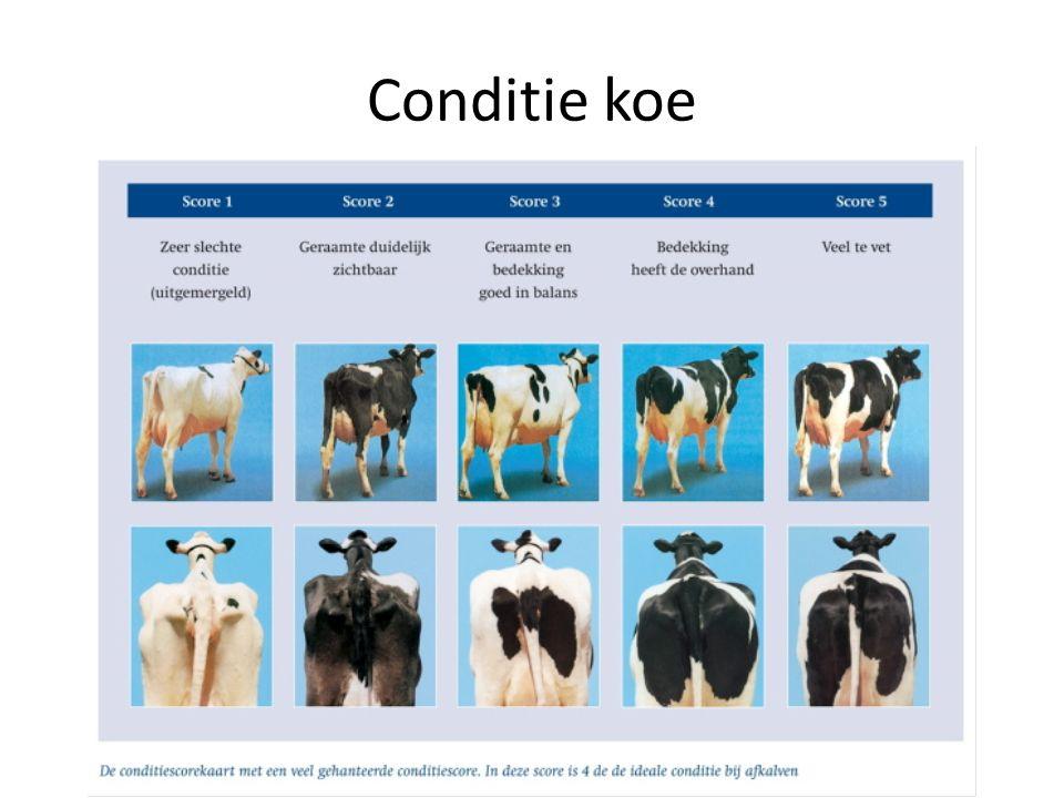 Conditie koe
