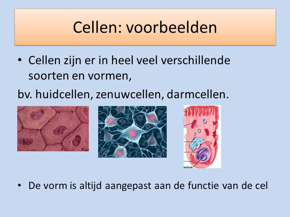 Cellen: voorbeelden Cellen zijn er in heel veel verschillende soorten en vormen, bv. huidcellen, zenuwcellen, darmcellen. De vorm is altijd aangepast