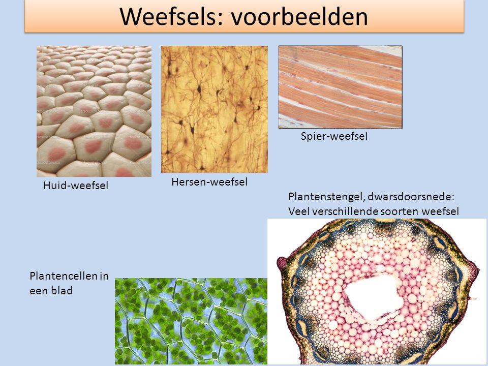 Weefsels: voorbeelden Huid-weefsel Hersen-weefsel Spier-weefsel Plantencellen in een blad Plantenstengel, dwarsdoorsnede: Veel verschillende soorten w