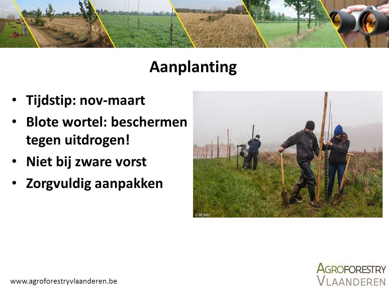 www.agroforestryvlaanderen.be Aanplanting Tijdstip: nov-maart Blote wortel: beschermen tegen uitdrogen! Niet bij zware vorst Zorgvuldig aanpakken