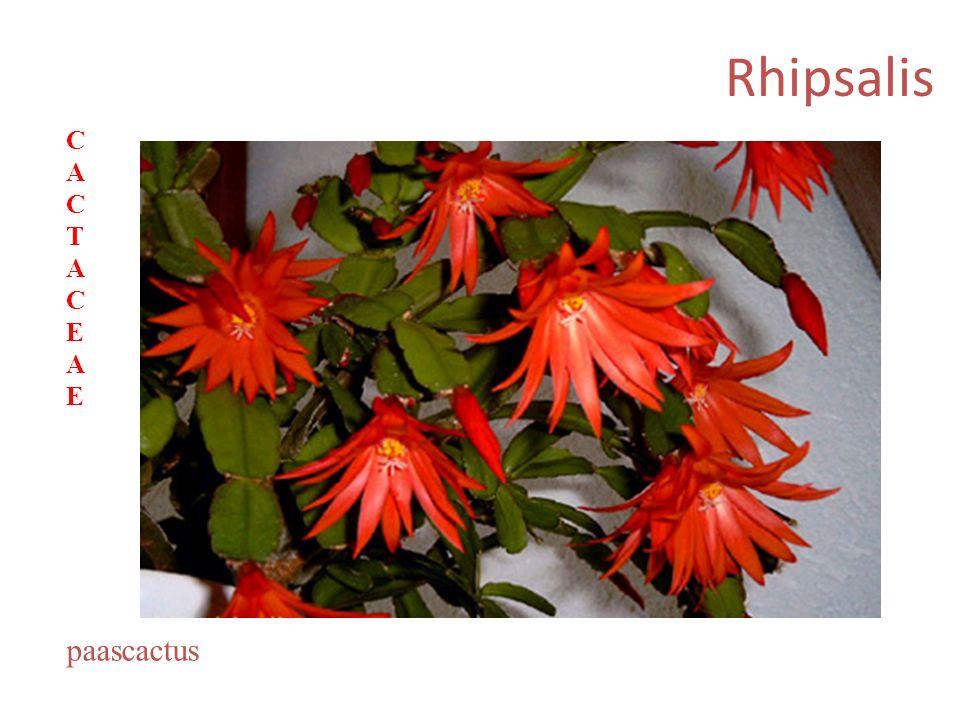 Rhipsalis paascactus CACTACEAECACTACEAE