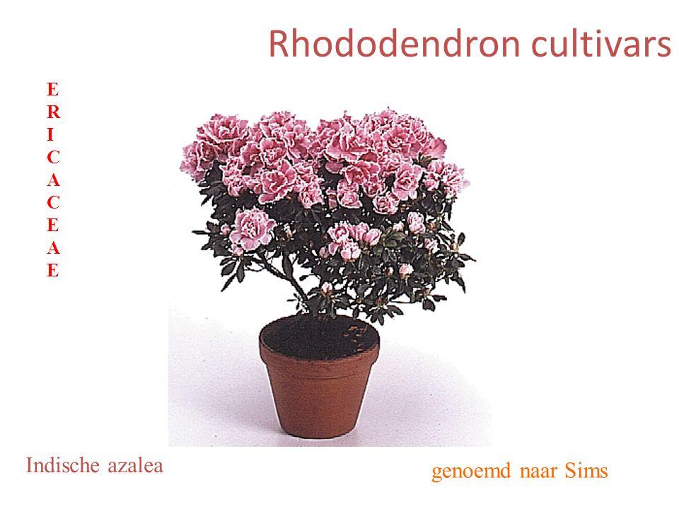 Rhododendron cultivars genoemd naar Sims Indische azalea ERICACEAEERICACEAE