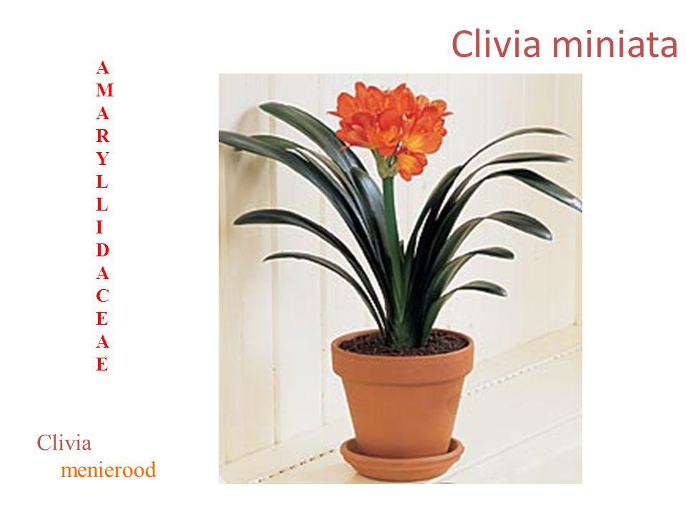 Clivia miniata menierood Clivia AMARYLLIDACEAEAMARYLLIDACEAE