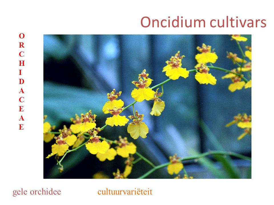 Oncidium cultivars gele orchidee ORCHIDACEAEORCHIDACEAE cultuurvariëteit