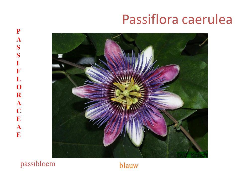Passiflora caerulea blauw passibloem PASSIFLORACEAEPASSIFLORACEAE