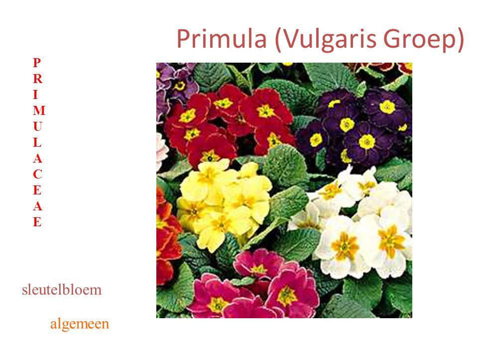 Primula (Vulgaris Groep) algemeen sleutelbloem PRIMULACEAEPRIMULACEAE