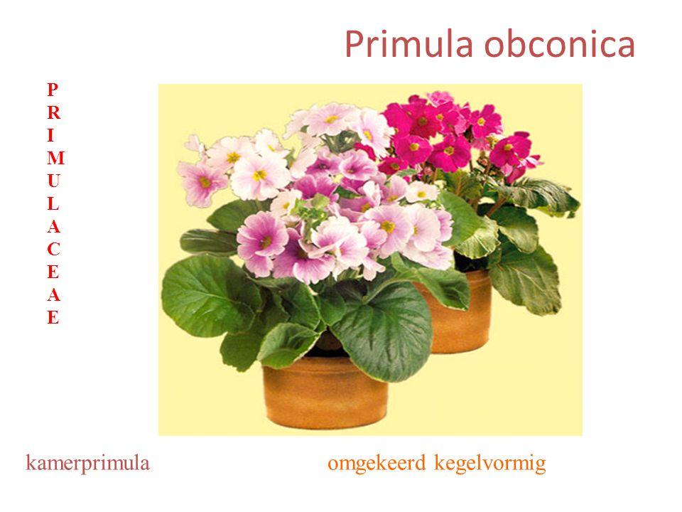Primula obconica omgekeerd kegelvormigkamerprimula PRIMULACEAEPRIMULACEAE