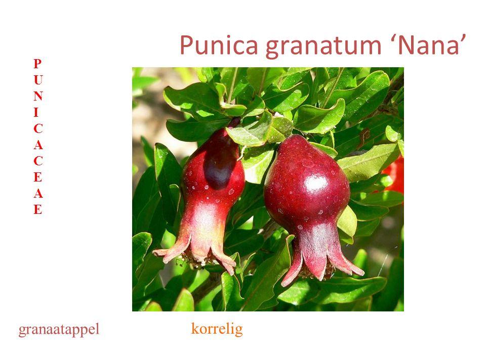 Punica granatum 'Nana' granaatappel korrelig PUNICACEAEPUNICACEAE