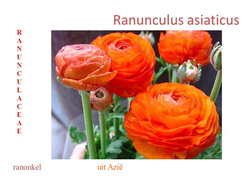 Ranunculus asiaticus ranonkel uit Azië RANUNCULACEAERANUNCULACEAE