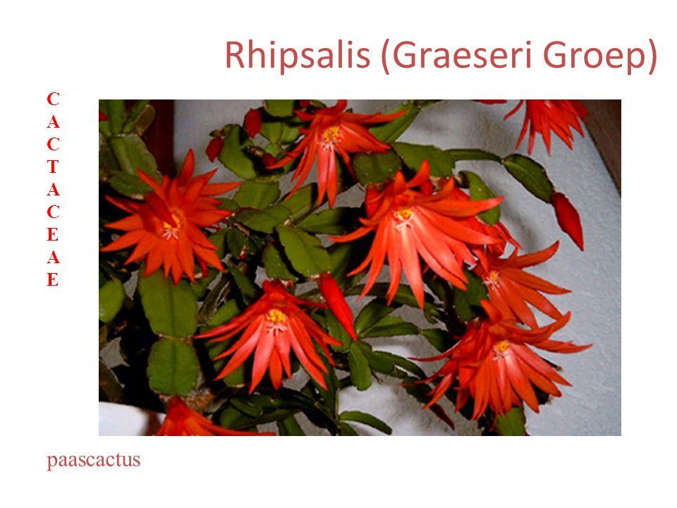 Rhipsalis (Graeseri Groep) paascactus CACTACEAECACTACEAE