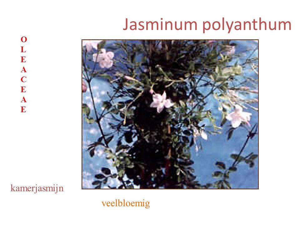 Jasminum polyanthum veelbloemig kamerjasmijn OLEACEAEOLEACEAE