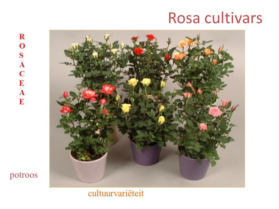 Rosa cultivars potroos ROSACEAEROSACEAE cultuurvariëteit