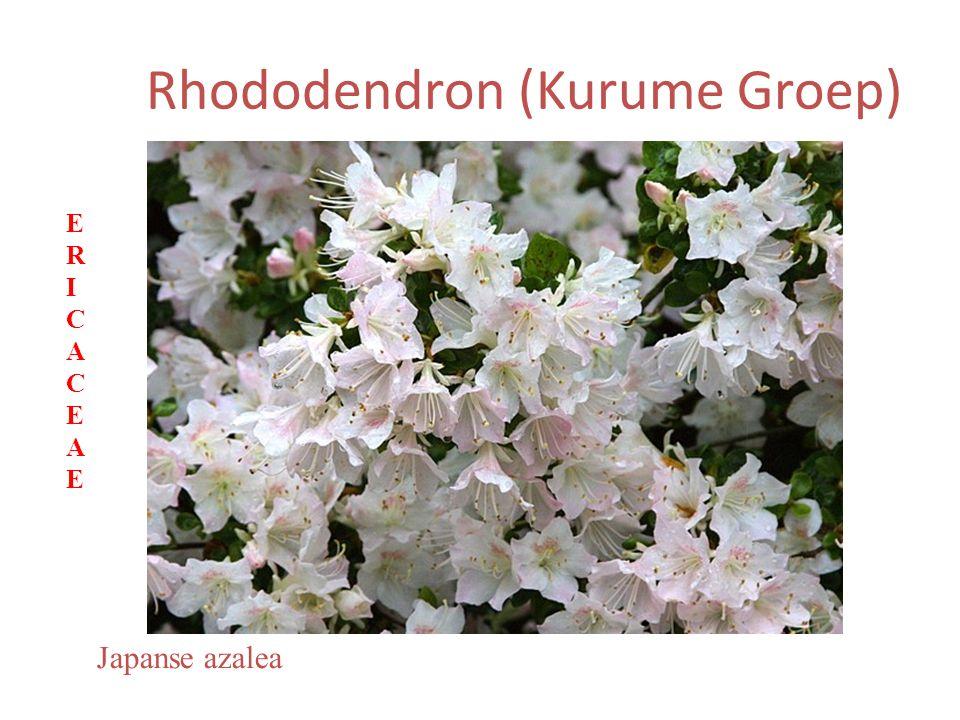 Rhododendron (Kurume Groep) Japanse azalea ERICACEAEERICACEAE
