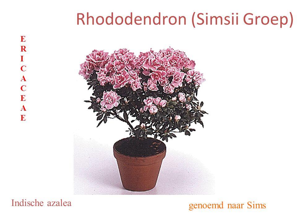 Rhododendron (Simsii Groep) genoemd naar Sims Indische azalea ERICACEAEERICACEAE