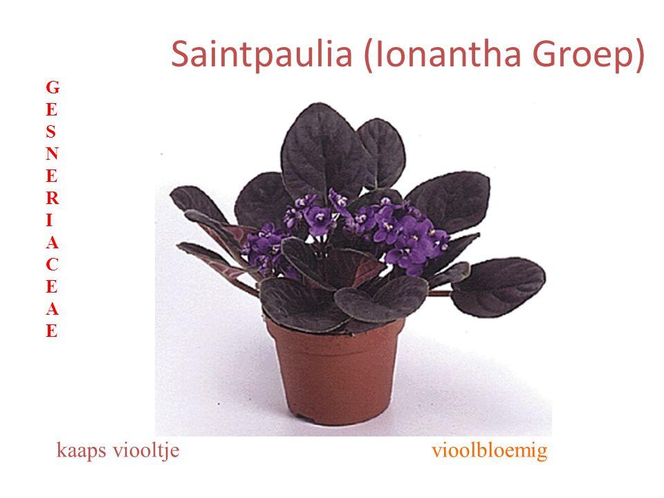 Saintpaulia (Ionantha Groep) vioolbloemigkaaps viooltje GESNERIACEAEGESNERIACEAE