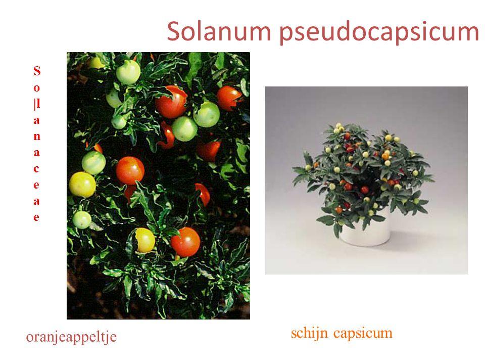 Solanum pseudocapsicum schijn capsicum oranjeappeltje S o |l a n a c e a e