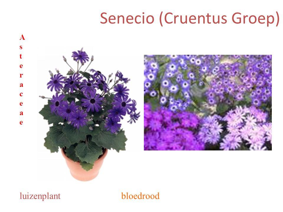 Senecio (Cruentus Groep) bloedroodluizenplant AsteraceaeAsteraceae