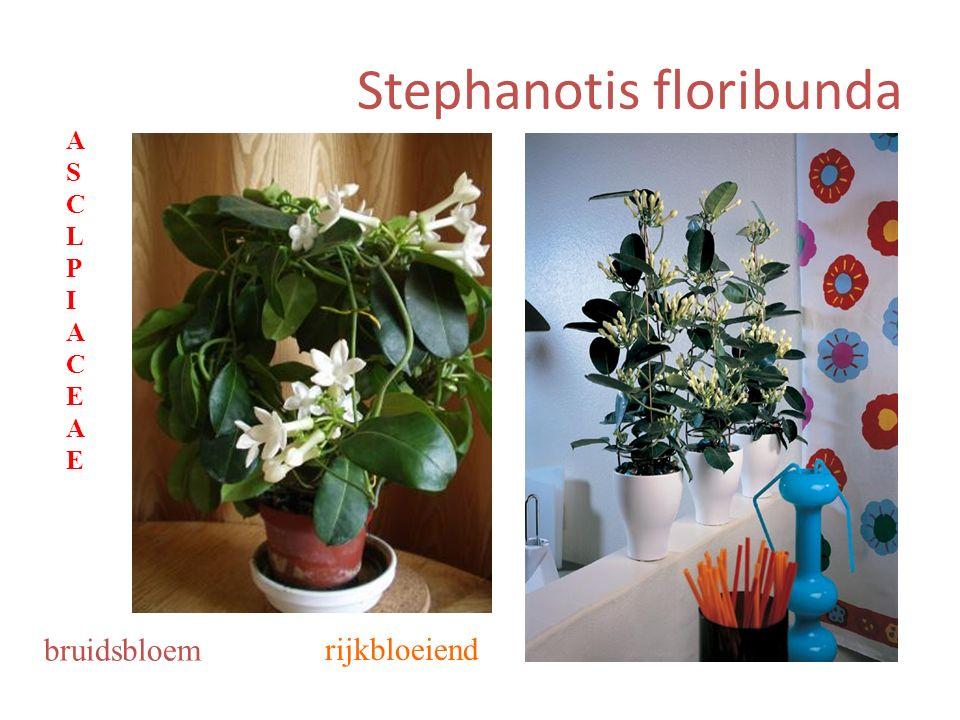 Stephanotis floribunda rijkbloeiend bruidsbloem ASCLPIACEAEASCLPIACEAE