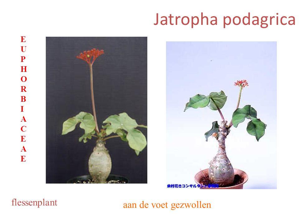 Jatropha podagrica aan de voet gezwollen flessenplant EUPHORBIACEAEEUPHORBIACEAE