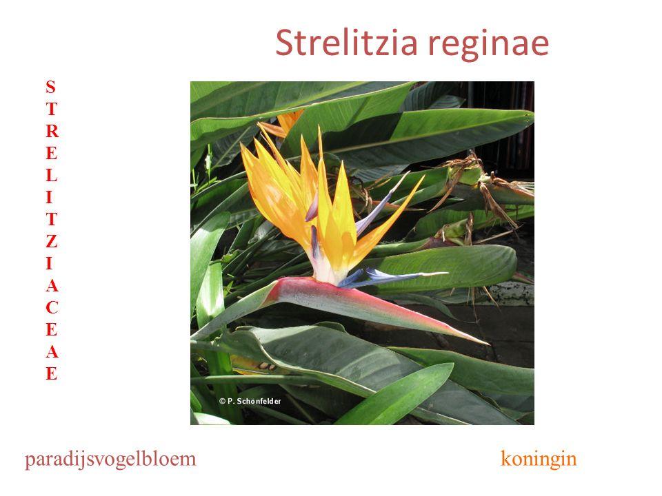 Strelitzia reginae paradijsvogelbloemkoningin STRELITZIACEAESTRELITZIACEAE