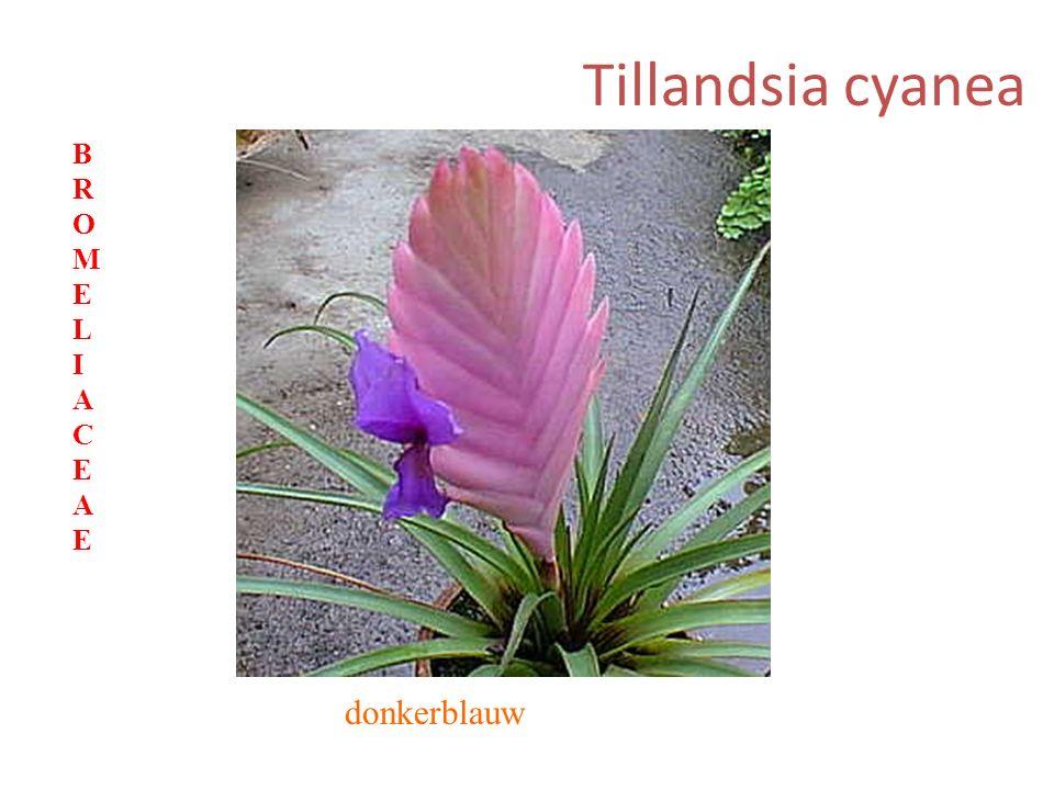 Tillandsia cyanea donkerblauw BROMELIACEAEBROMELIACEAE