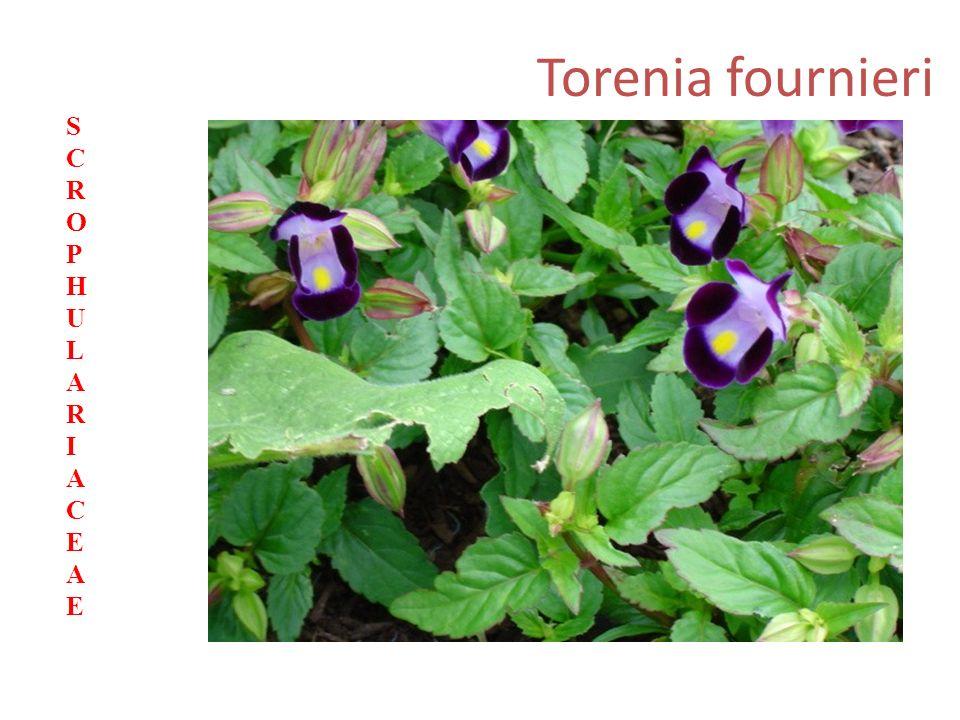 Torenia fournieri SCROPHULARIACEAESCROPHULARIACEAE