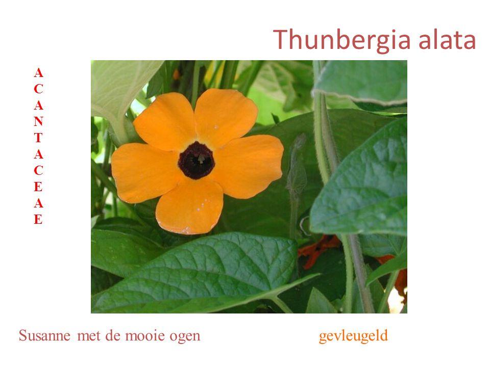 Thunbergia alata Susanne met de mooie ogengevleugeld ACANTACEAEACANTACEAE
