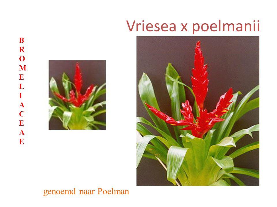 Vriesea x poelmanii genoemd naar Poelman BROMELIACEAEBROMELIACEAE