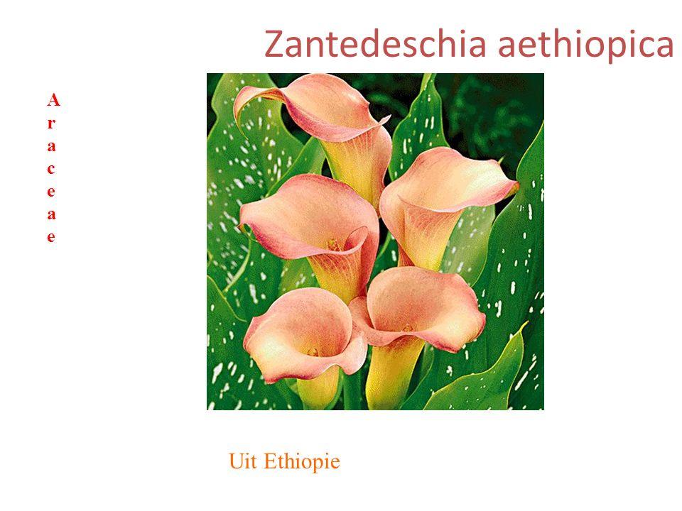 Zantedeschia aethiopica Uit Ethiopie AraceaeAraceae