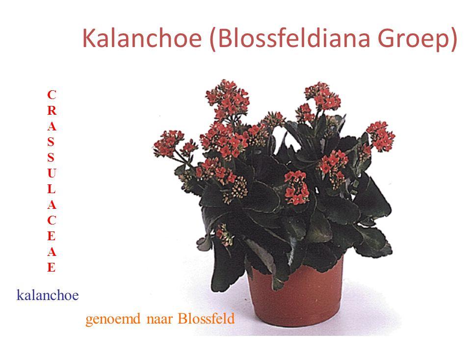 Kalanchoe (Blossfeldiana Groep) genoemd naar Blossfeld kalanchoe CRASSULACEAECRASSULACEAE