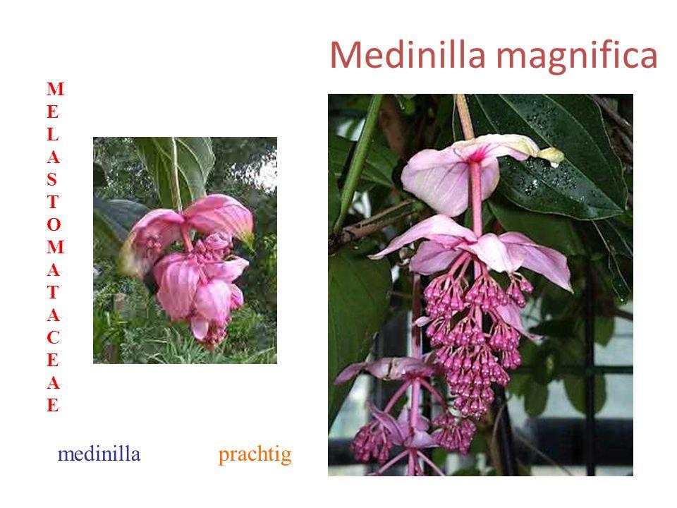 Medinilla magnifica prachtigmedinilla MELASTOMATACEAEMELASTOMATACEAE