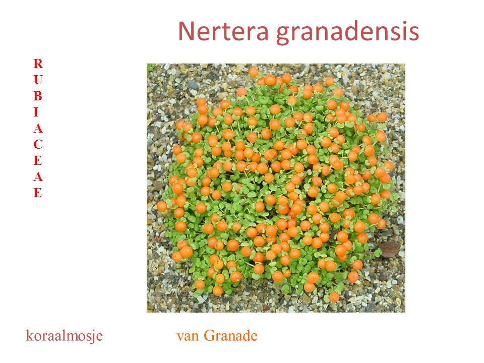 Nertera granadensis van Granadekoraalmosje RUBIACEAERUBIACEAE