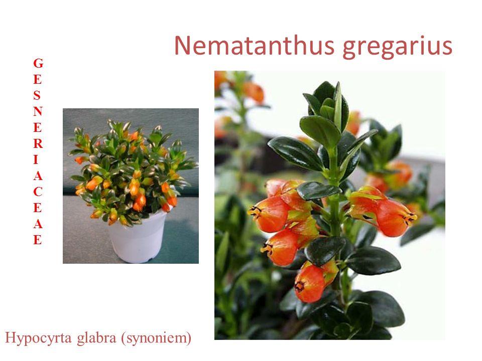 Nematanthus gregarius Hypocyrta glabra (synoniem) GESNERIACEAEGESNERIACEAE