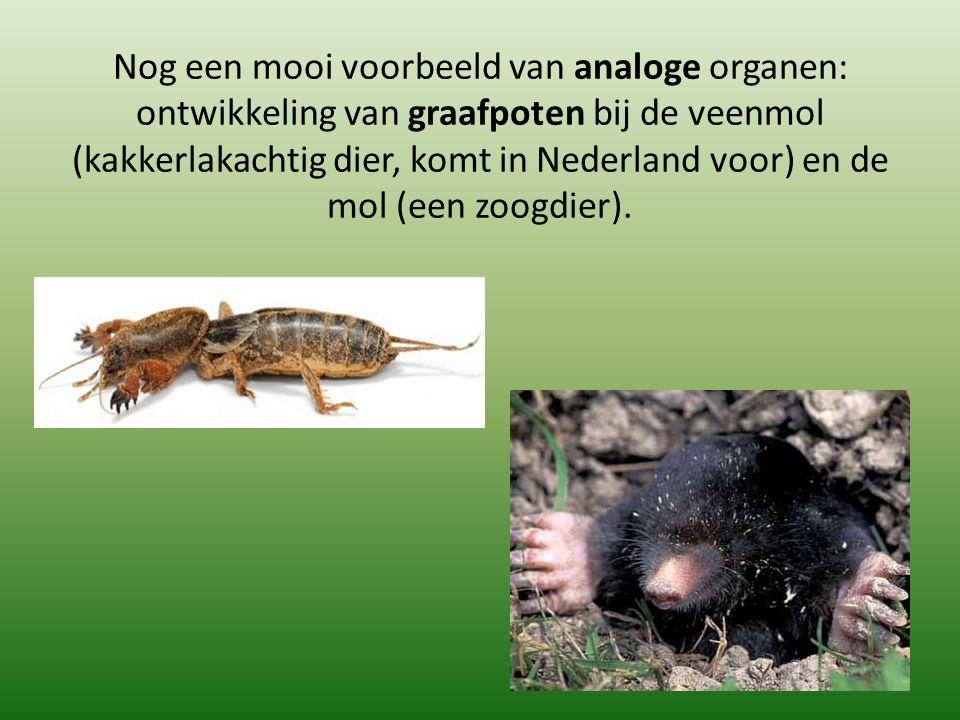 Nog een mooi voorbeeld van analoge organen: ontwikkeling van graafpoten bij de veenmol (kakkerlakachtig dier, komt in Nederland voor) en de mol (een zoogdier).