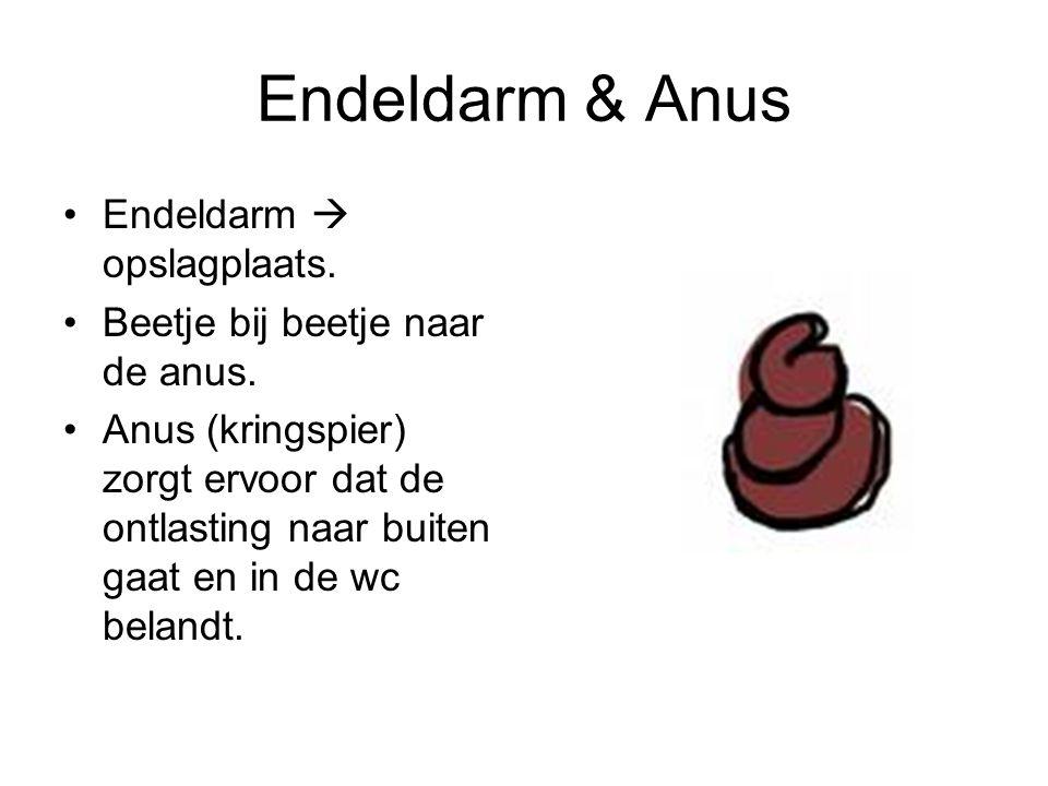 Endeldarm  opslagplaats. Beetje bij beetje naar de anus. Anus (kringspier) zorgt ervoor dat de ontlasting naar buiten gaat en in de wc belandt.