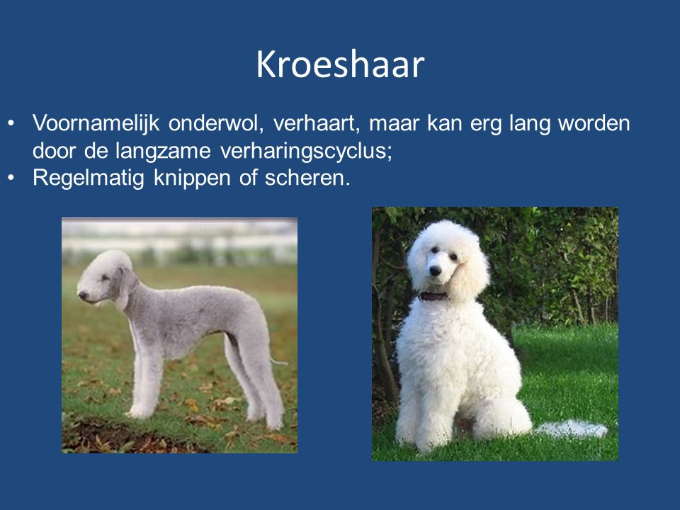 Kroeshaar Voornamelijk onderwol, verhaart, maar kan erg lang worden door de langzame verharingscyclus; Regelmatig knippen of scheren.
