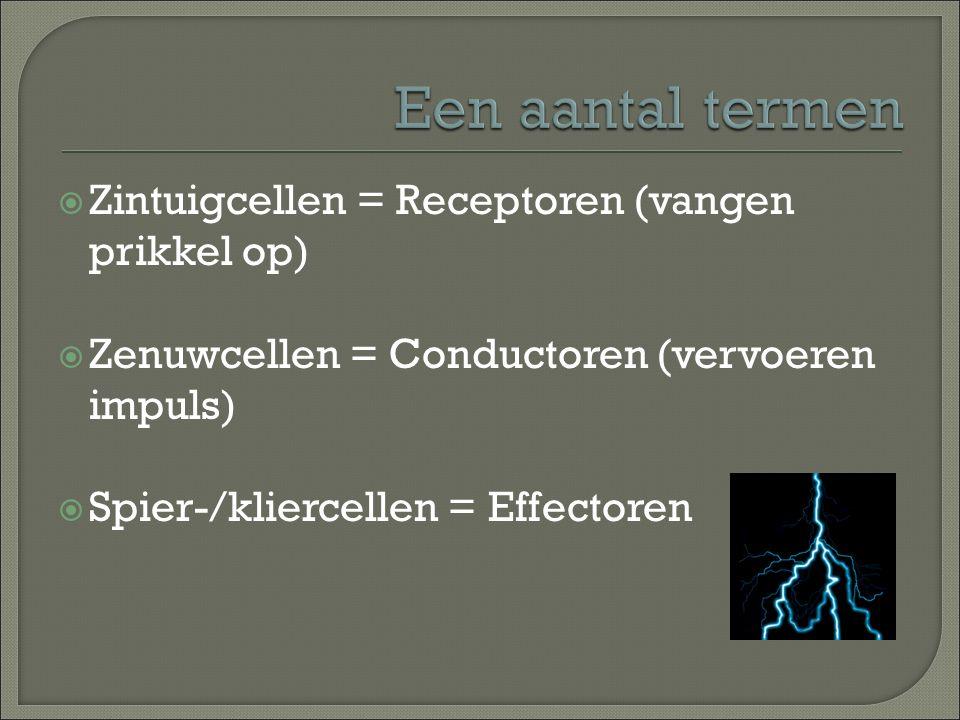  Zintuigcellen = Receptoren (vangen prikkel op)  Zenuwcellen = Conductoren (vervoeren impuls)  Spier-/kliercellen = Effectoren