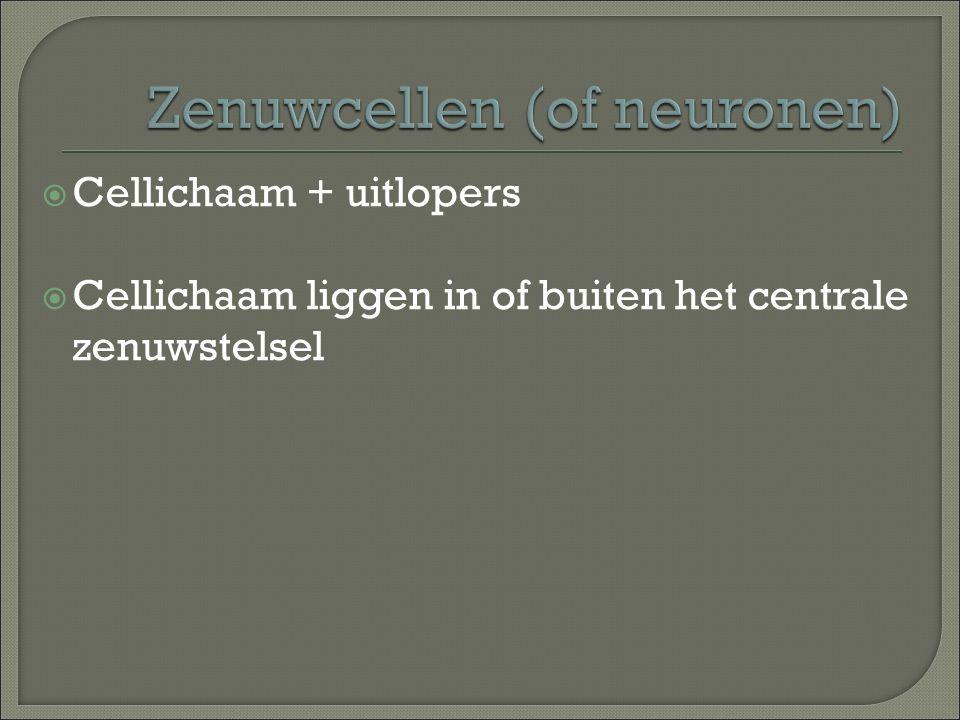  Cellichaam + uitlopers  Cellichaam liggen in of buiten het centrale zenuwstelsel