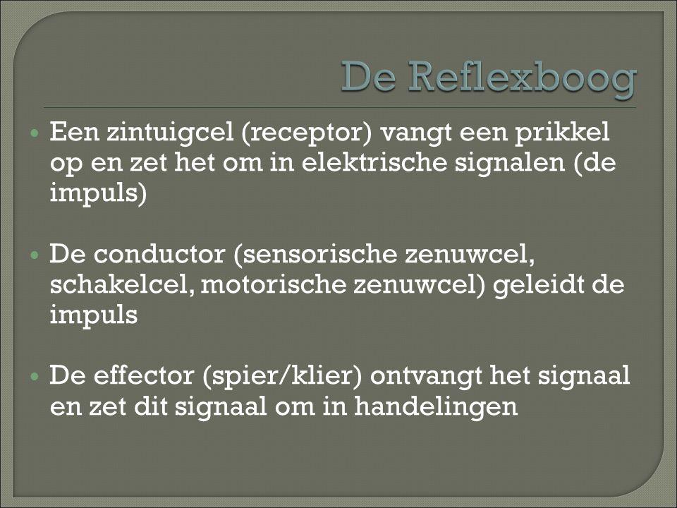 Een zintuigcel (receptor) vangt een prikkel op en zet het om in elektrische signalen (de impuls) De conductor (sensorische zenuwcel, schakelcel, motor