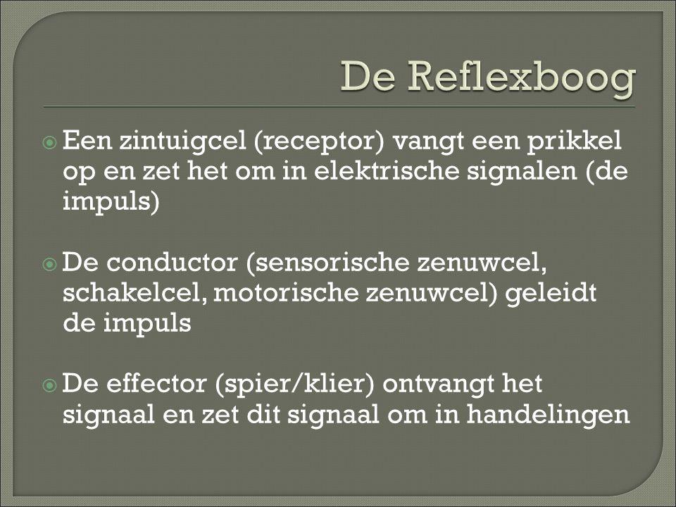  Een zintuigcel (receptor) vangt een prikkel op en zet het om in elektrische signalen (de impuls)  De conductor (sensorische zenuwcel, schakelcel, m