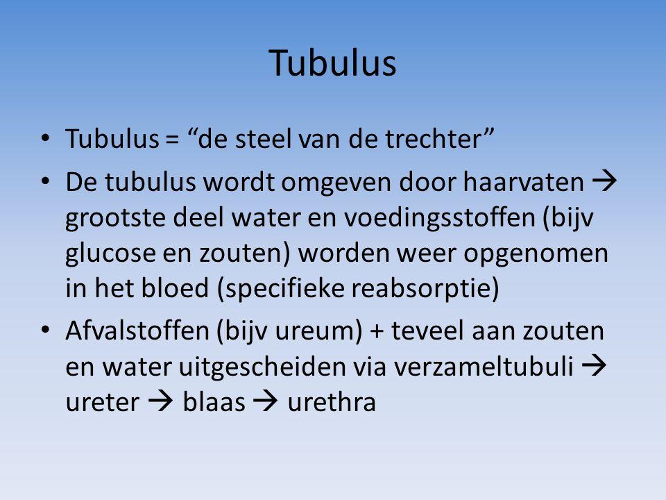 """Tubulus Tubulus = """"de steel van de trechter"""" De tubulus wordt omgeven door haarvaten  grootste deel water en voedingsstoffen (bijv glucose en zouten)"""