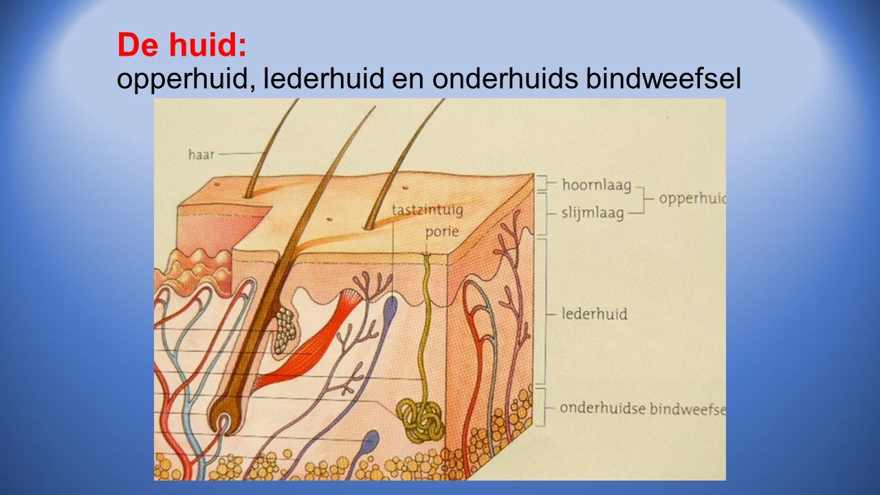 De huid: opperhuid, lederhuid en onderhuids bindweefsel