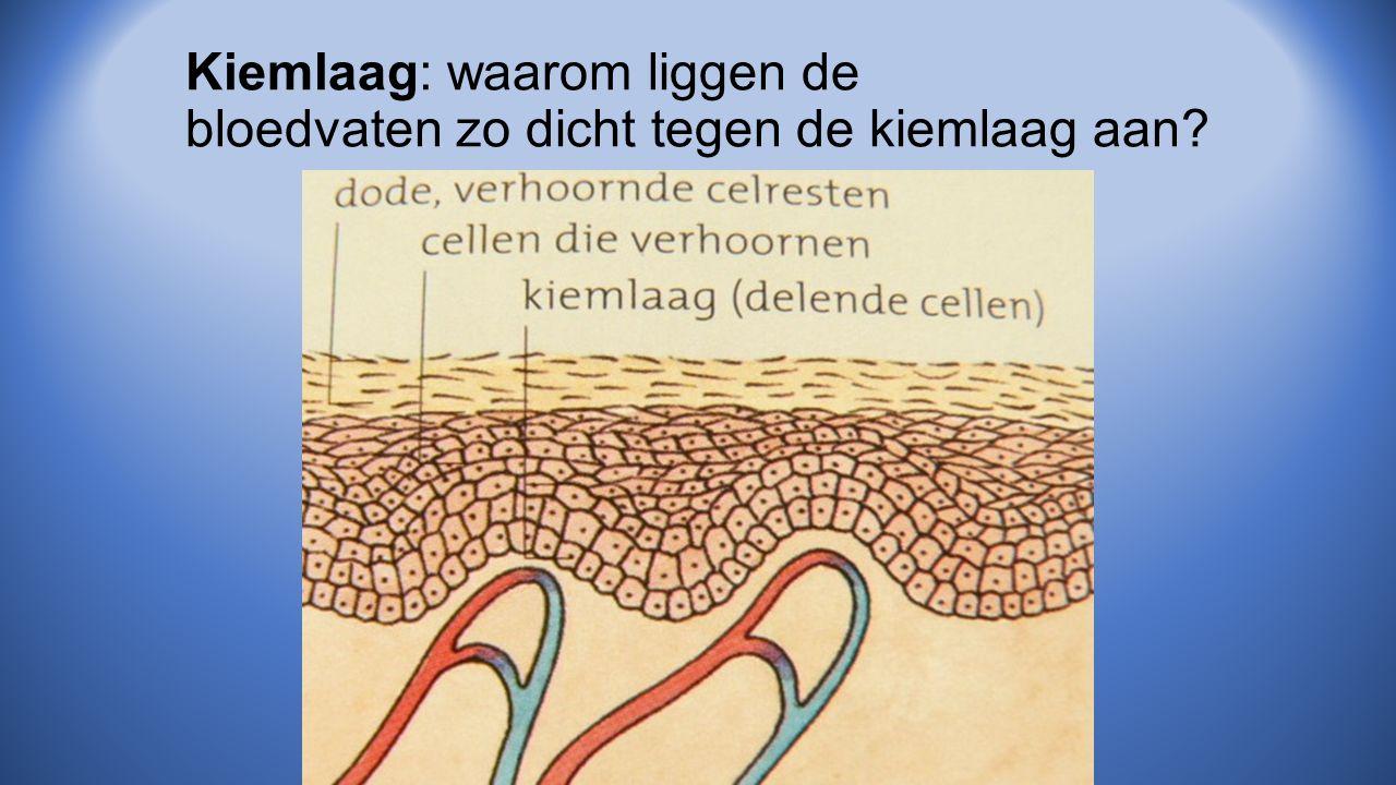 Kiemlaag: waarom liggen de bloedvaten zo dicht tegen de kiemlaag aan?