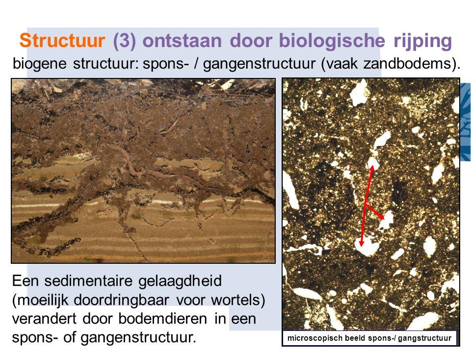 30 biogene structuur: spons- / gangenstructuur (vaak zandbodems). microscopisch beeld spons-/ gangstructuur Een sedimentaire gelaagdheid (moeilijk doo