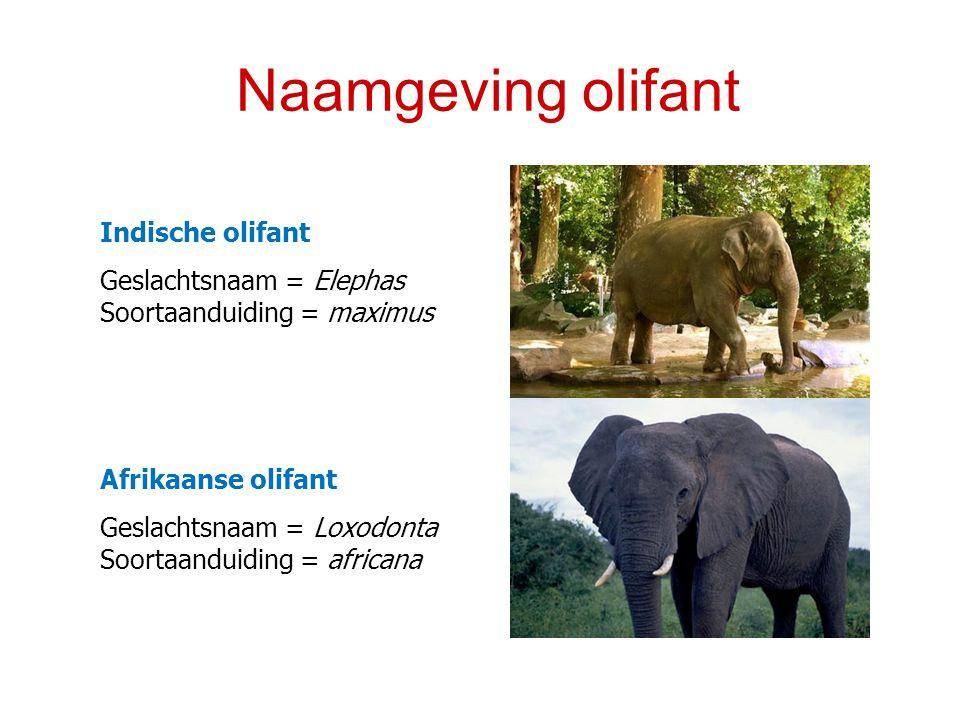 Naamgeving olifant Indische olifant Geslachtsnaam = Elephas Soortaanduiding = maximus Afrikaanse olifant Geslachtsnaam = Loxodonta Soortaanduiding = a