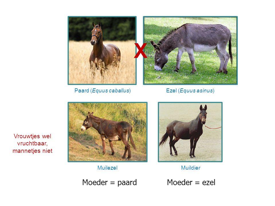 Moeder = paardMoeder = ezel Vrouwtjes wel vruchtbaar, mannetjes niet MuilezelMuildier Ezel (Equus asinus)Paard (Equus caballus) X