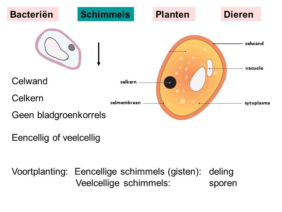 Celwand Celkern Geen bladgroenkorrels Eencellig of veelcellig Voortplanting: Eencellige schimmels (gisten):deling Veelcellige schimmels:sporen BacteriënSchimmelsPlantenDieren